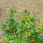 poor rose bush